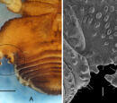 Fasciolate hyaline apophyses