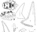 Americovibone lanfrancoae