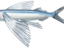 Ploxy the Flying Fish
