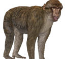 Barbary Ape (Aurora Designs)