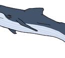 Giglioli's Whale