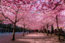 Cherry-blossoms-sakura-spring-1-greatest-images-amazing-2013-great-atmosphere.jpg