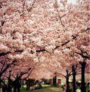 Cherry-blossoms-sakura-spring14.jpg