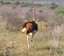 Avestruz Masai