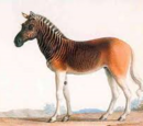 The brown zebra