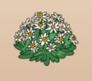 Edelweiss Plant