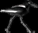 Black Crab Plover