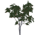 Black Locust Tree (Burns)