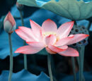 LotusClan (Themysteriouspaw)